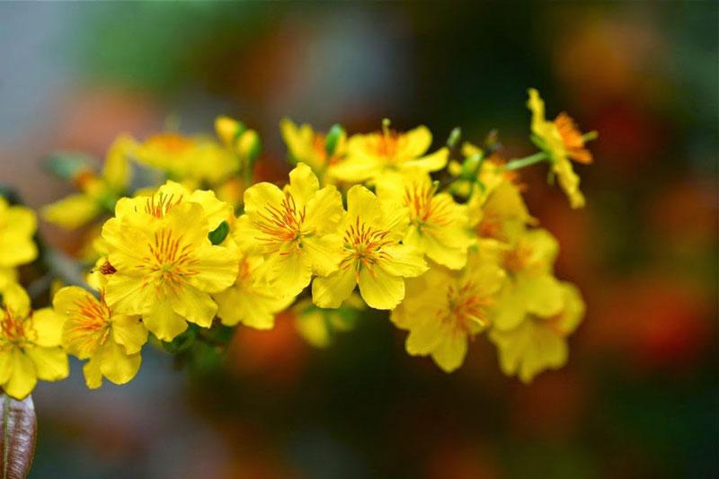 Du lịch Tết ngắm hoa mai vàng